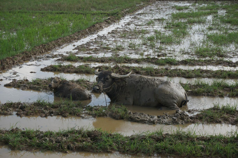 Buffles dans la boue à Cam Kim