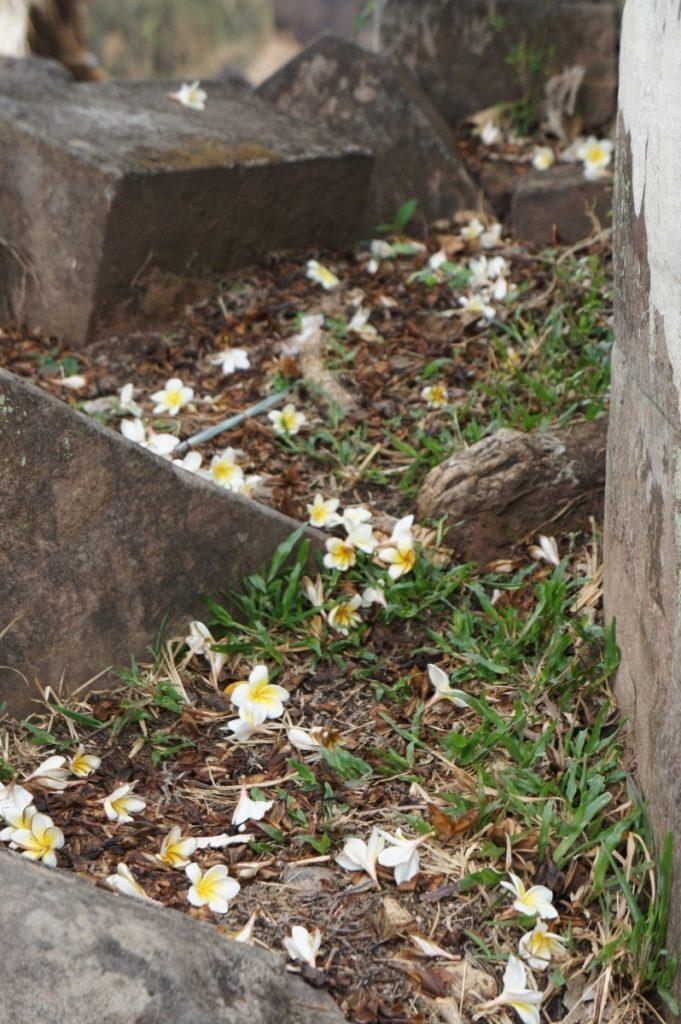 Fleurs de frangipanier (plumeria) à Vat Phou