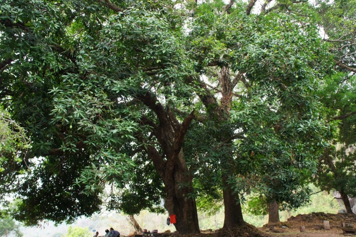 Manguiers centenaires au temple Vat Phou à Champassak