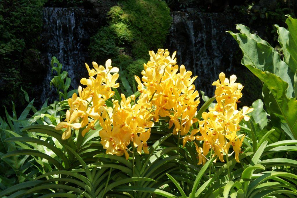 Jardin des orchidées Singapour