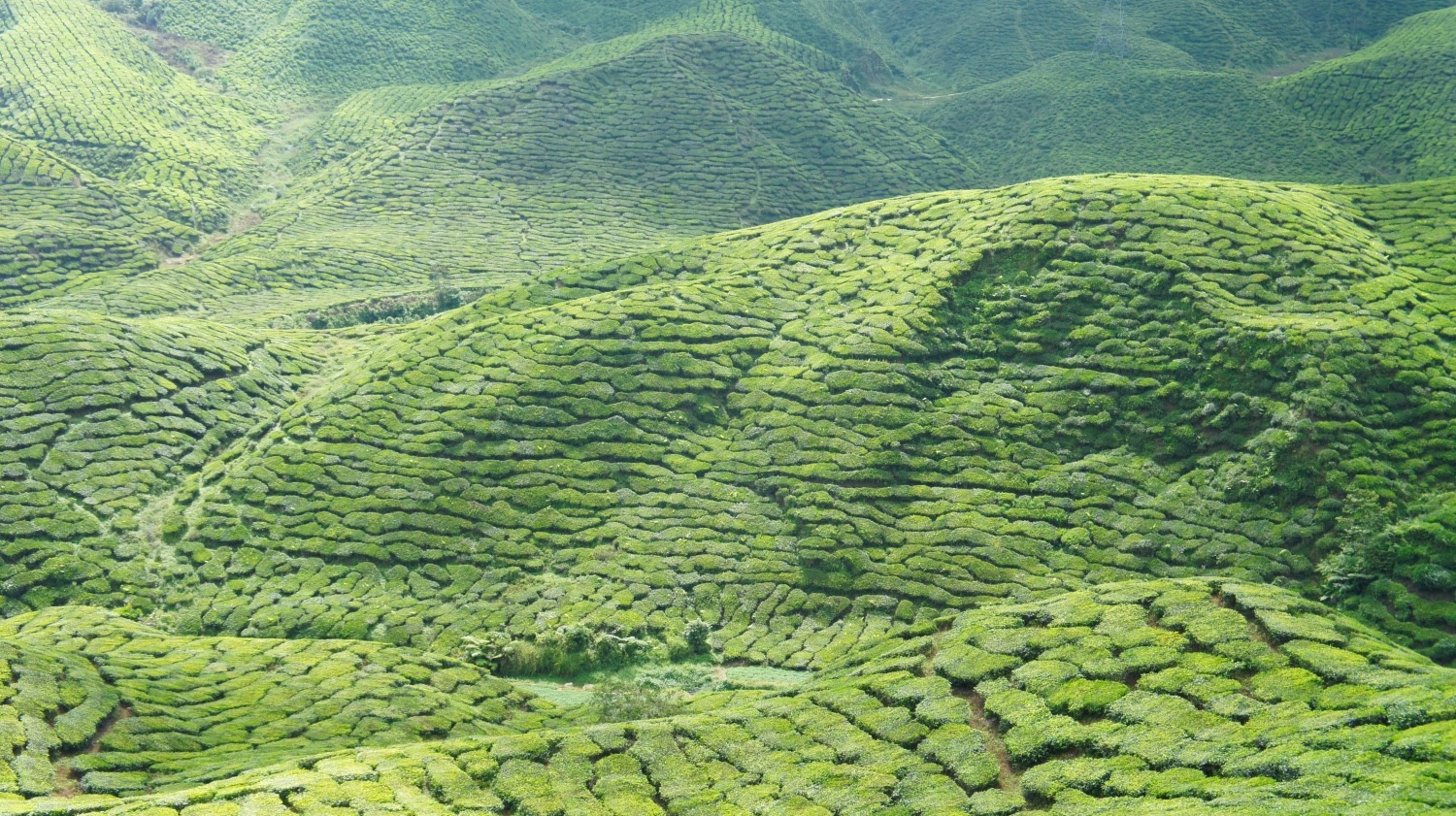 Cameron Highlands plantation de thé