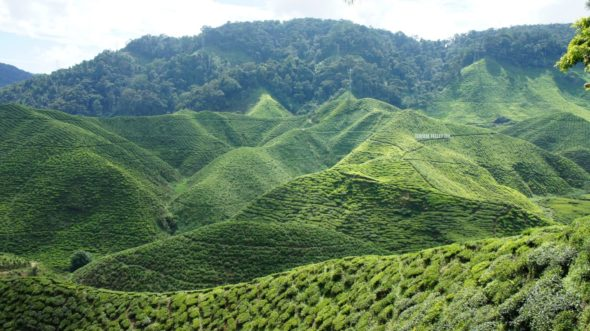 Plantations de thé Cameron Highlands