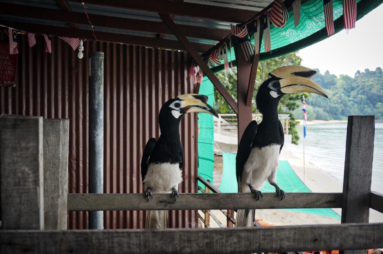 Pulau Pangkor: l'île aux chats et aux bucérotidés
