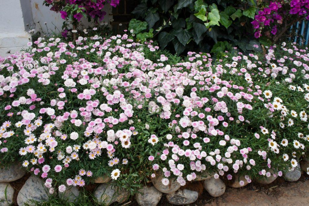 chrysanthème chine