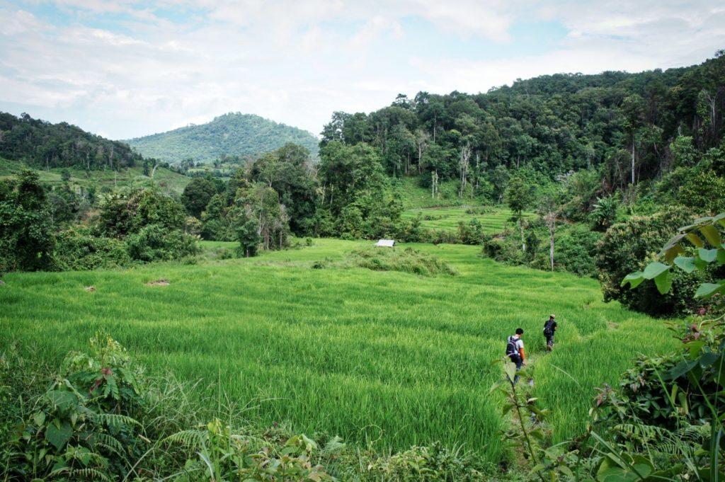 Rizière autour de Chiang Mai en Thaïlande