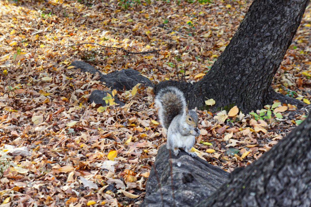 écureuil à Central Park New York