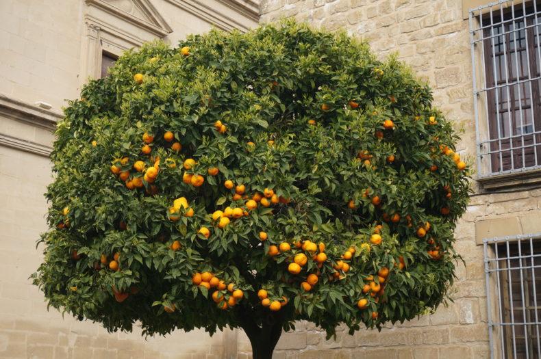 Un oranger à Ubeda