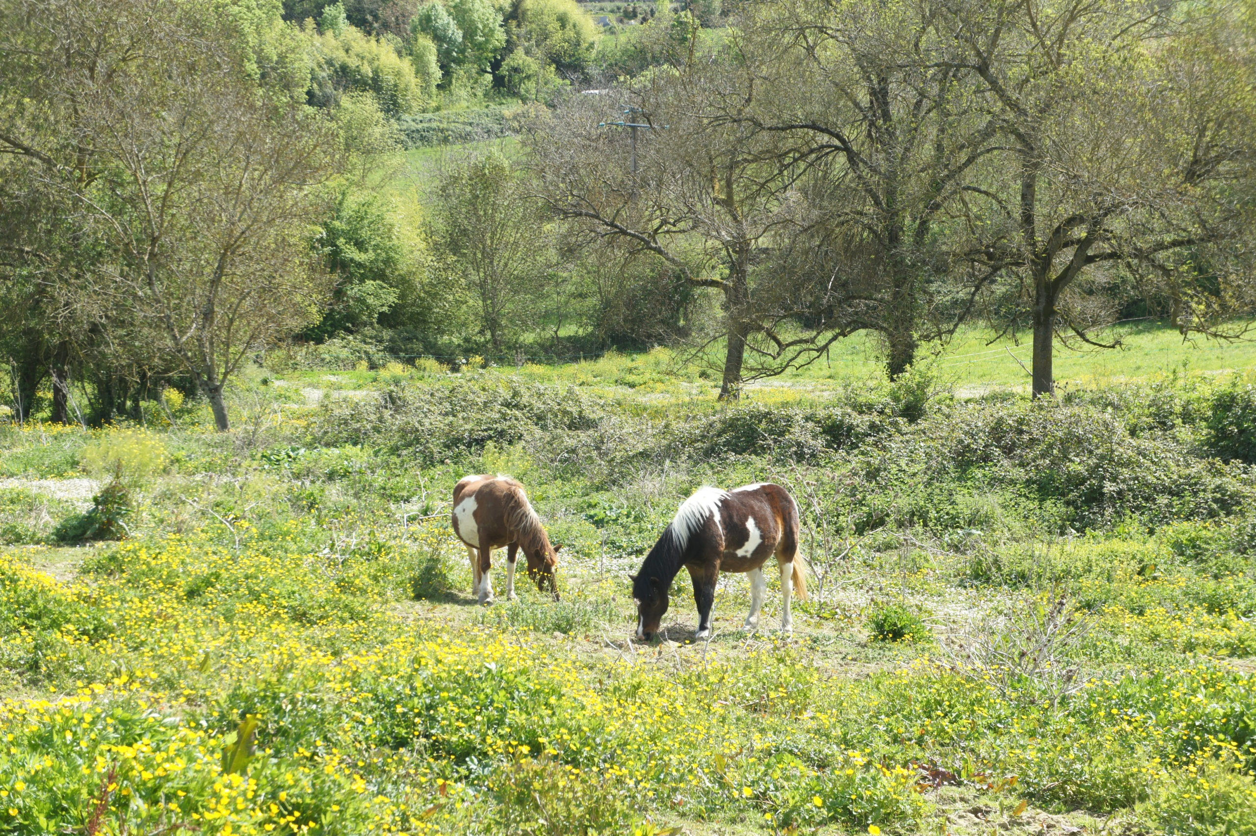 Les chevaux broutent aux alentours de Lectoure