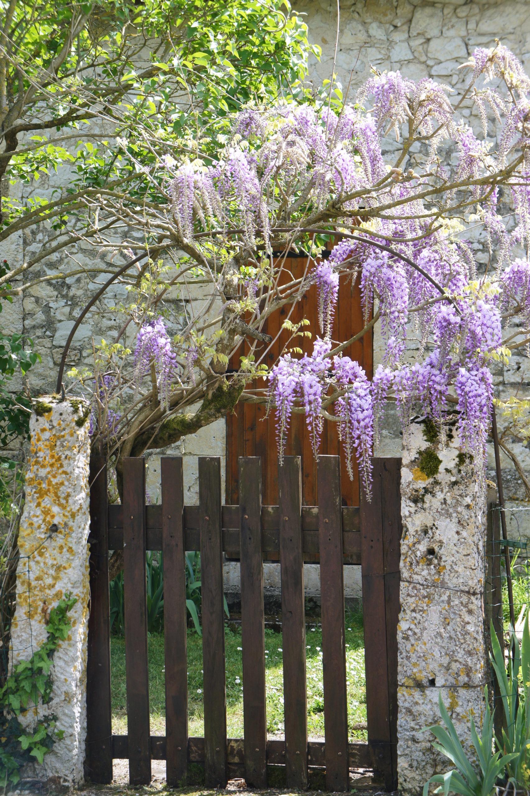 La saison des glycines à Lectoure dans le Gers
