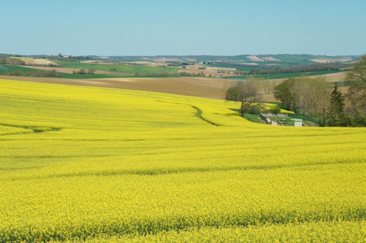 Les champs de colza aux alentours de Sainte-Mère en Lomagne-Gascogne