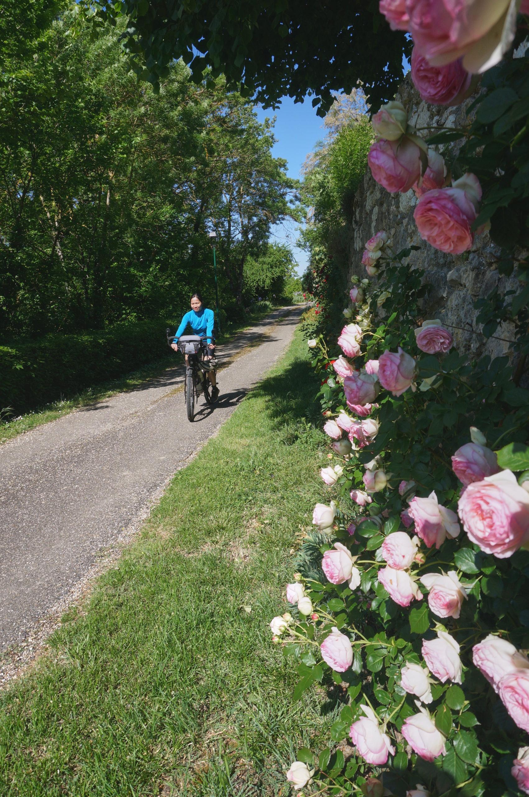Murs recouverts de roses à Larroque-Engalin dans le Gers